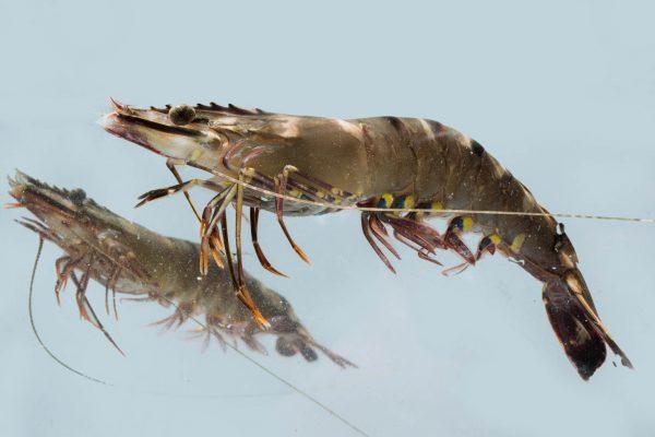 Shrimp50