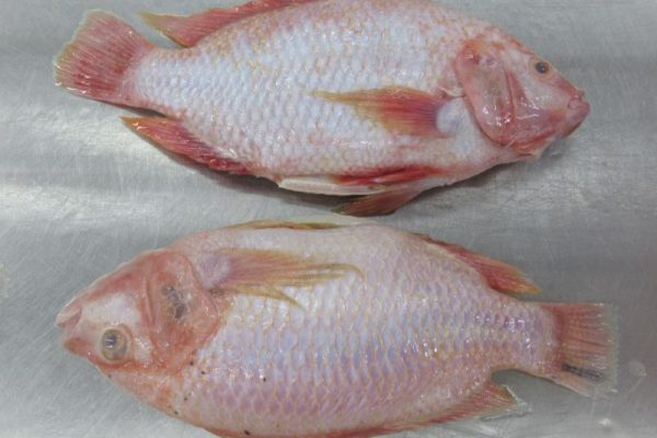 Red Tilapia whole fish